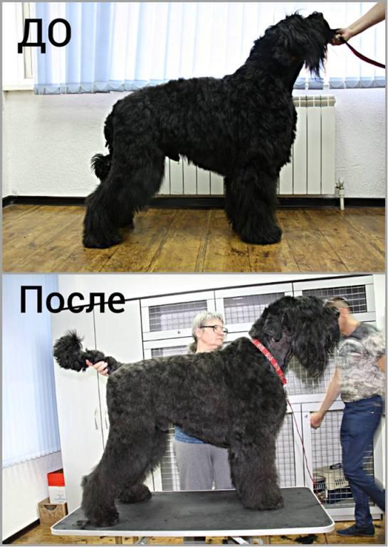 Модельная стрижка русского черного терьера